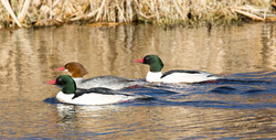 Common Merganser-Female and Two Male