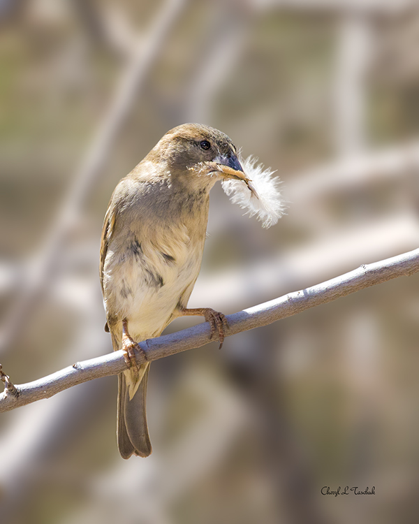 Sparrow with Feather