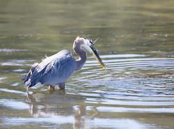 Heron Fishing 1