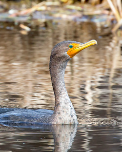 Cormorant, Double Crested