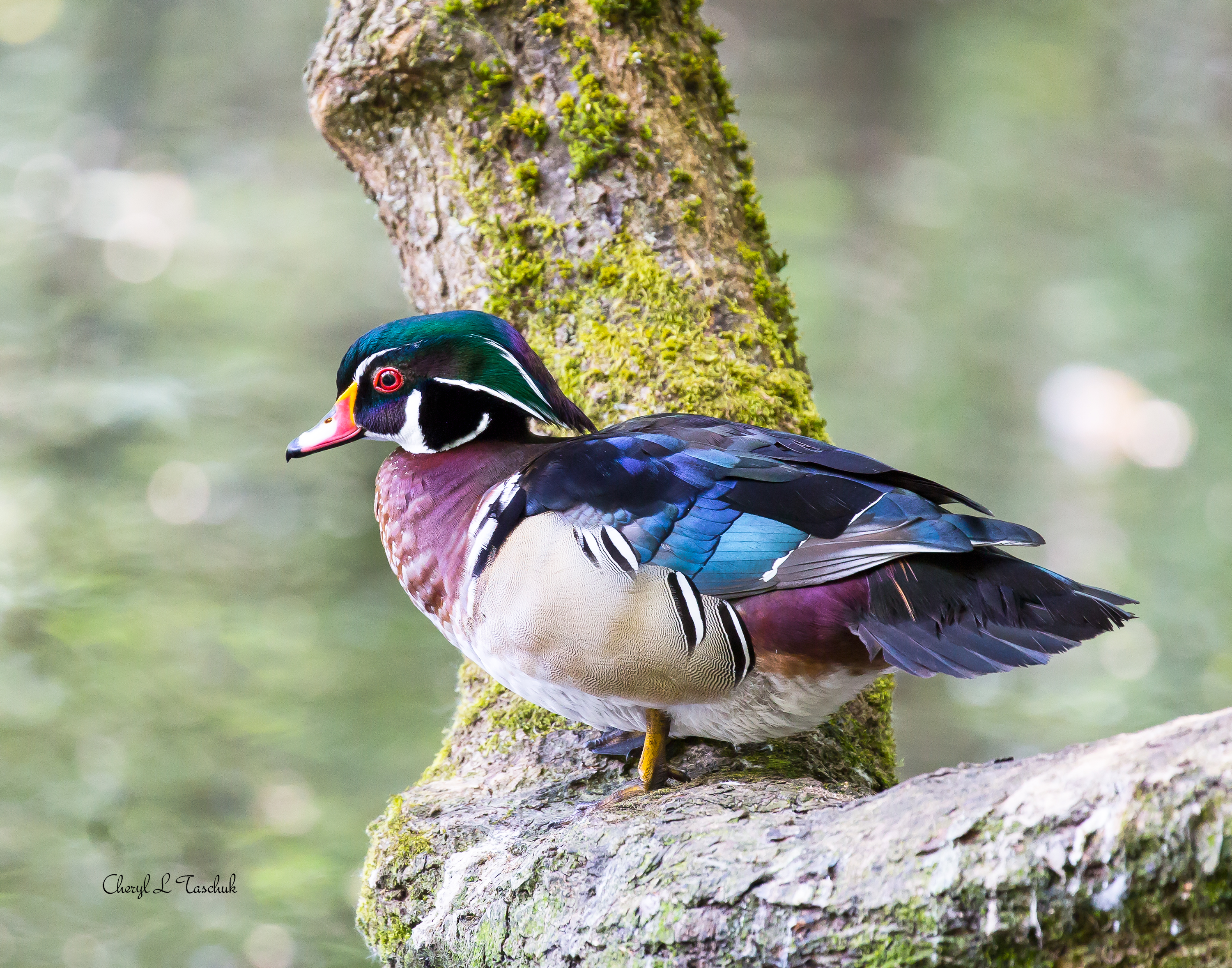 Wood Duck on Branch