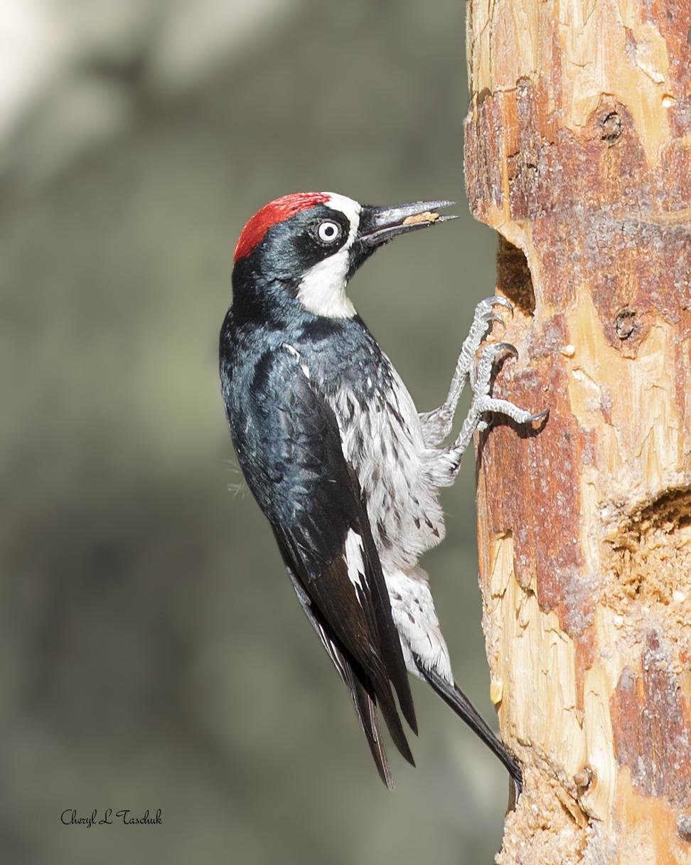 Acorn Woodpecker in Tree 3