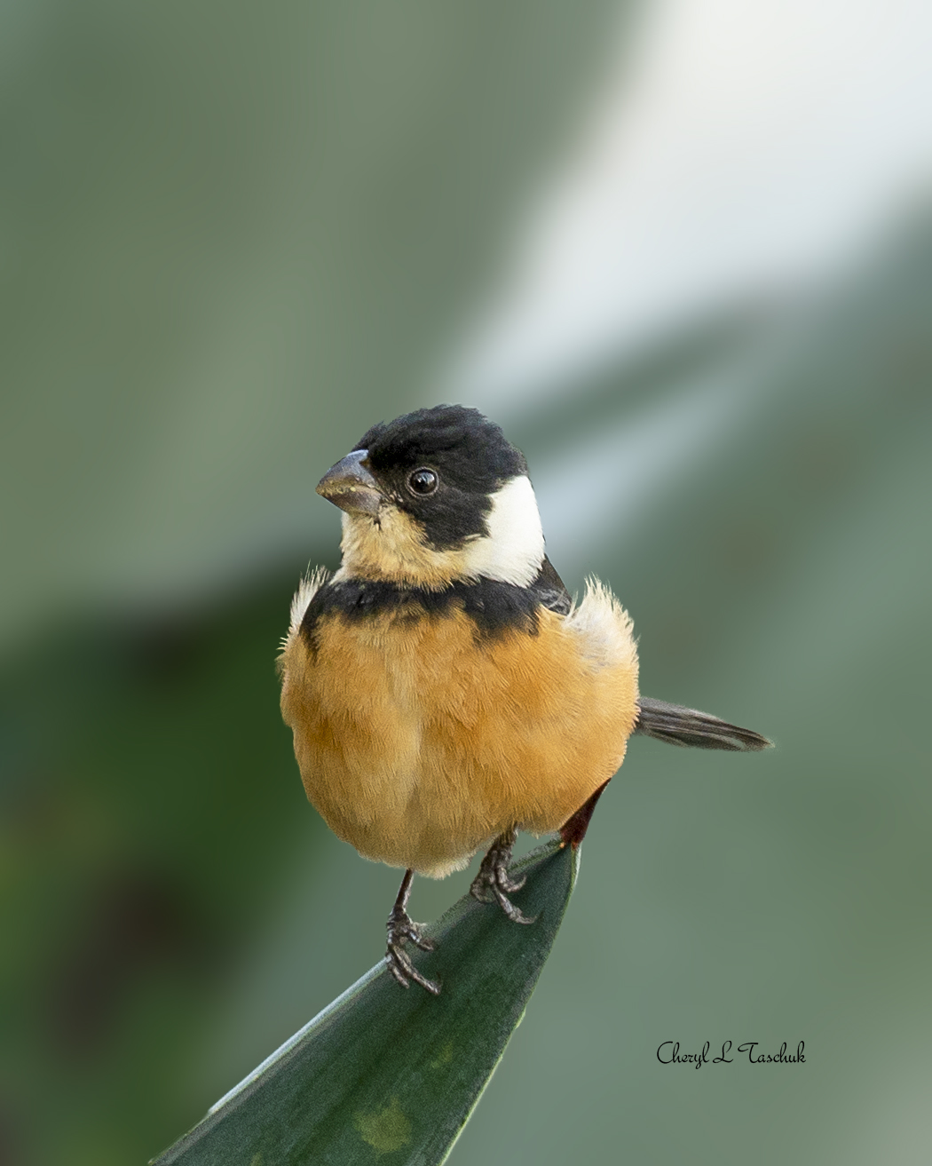 White Collared Cinnamon Rumped Seedeater
