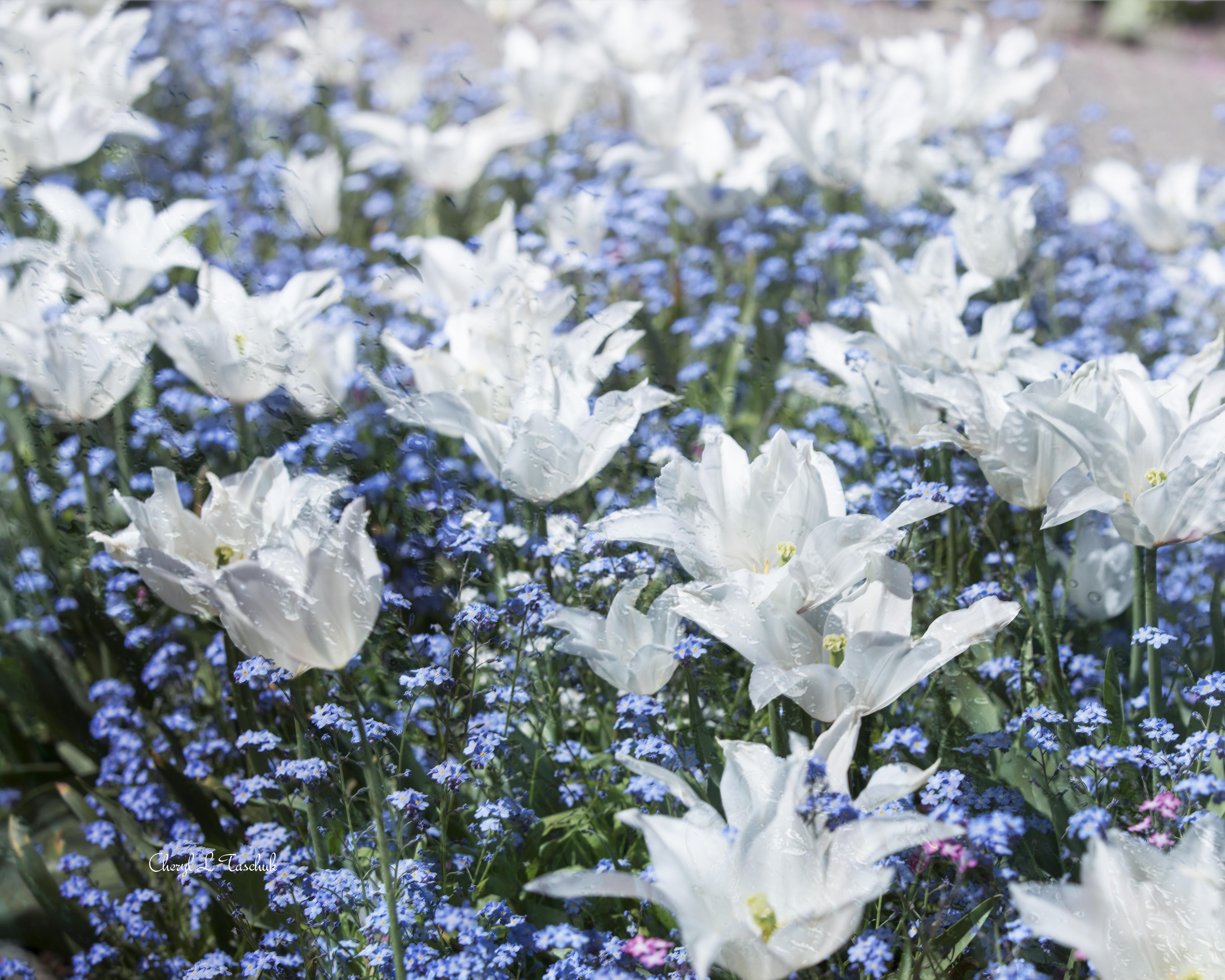 White Tulips w Blue Lobelia