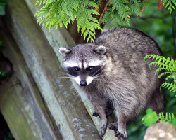 Racoon on Fence