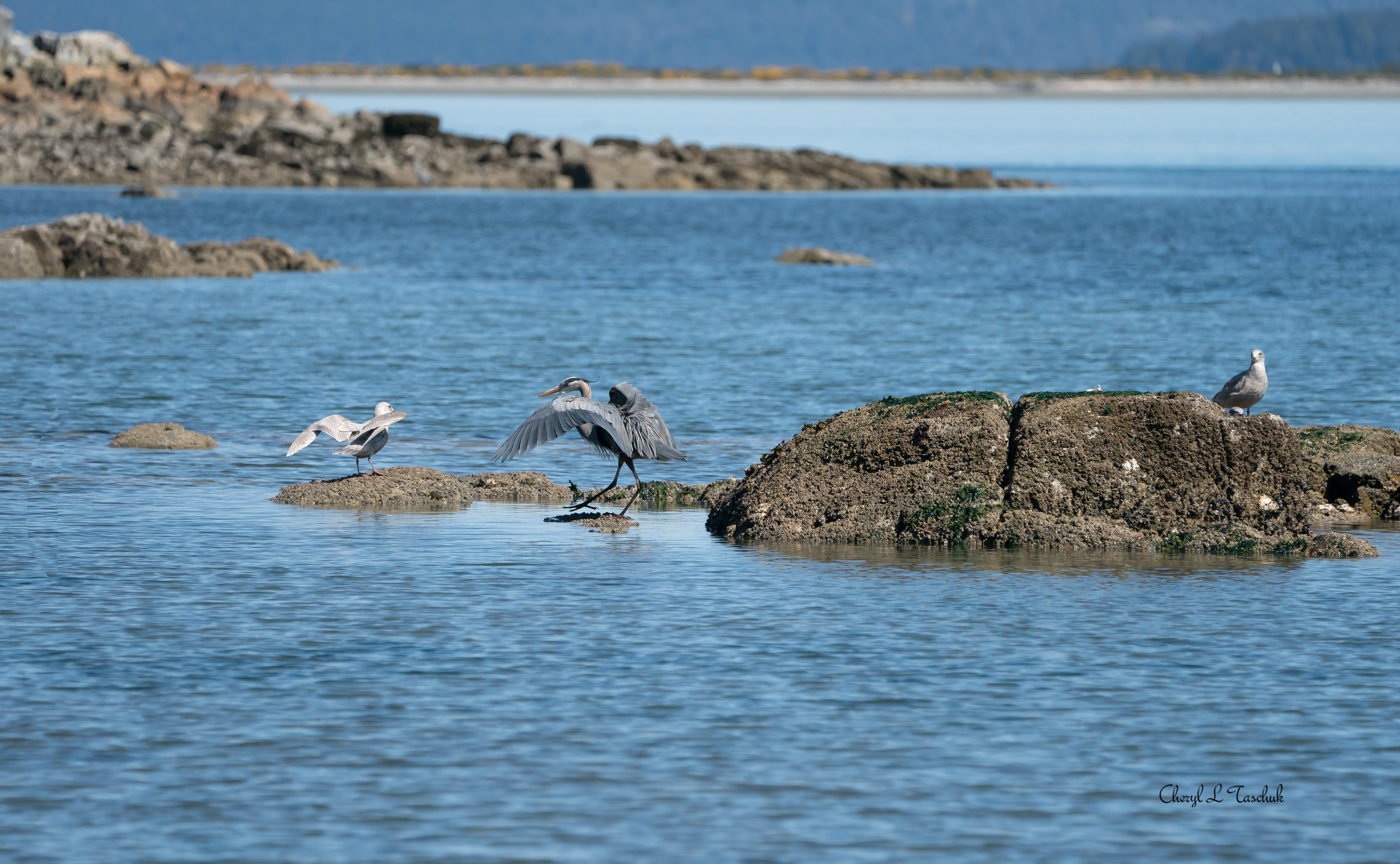Heron and Gull Faceoff