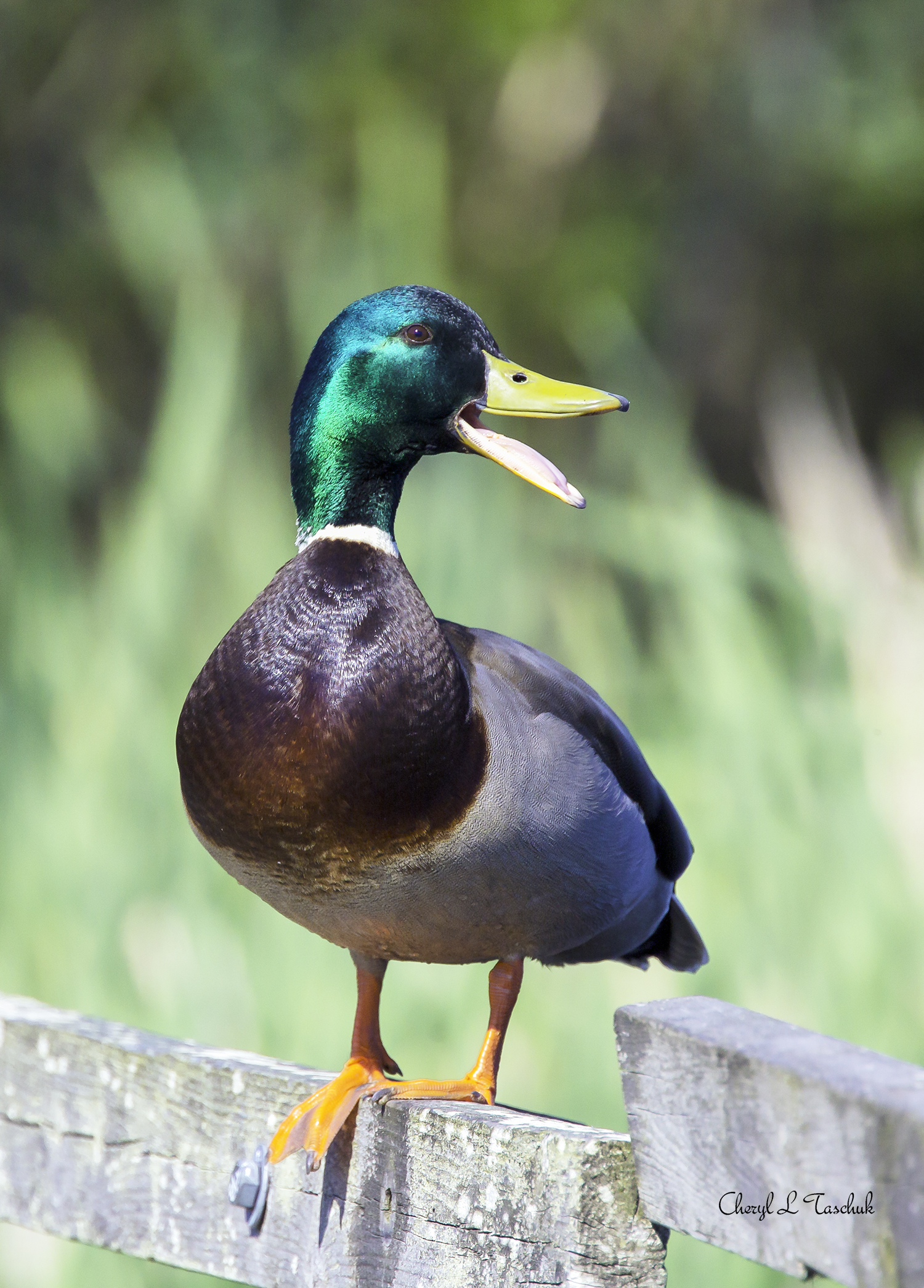 Mallard on Fence, Male