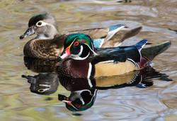 BI-Wood Duck Pair 2200