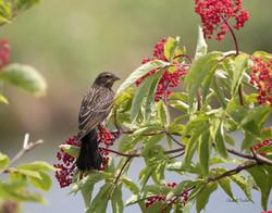 Red Winged Blackbird-Juvenile