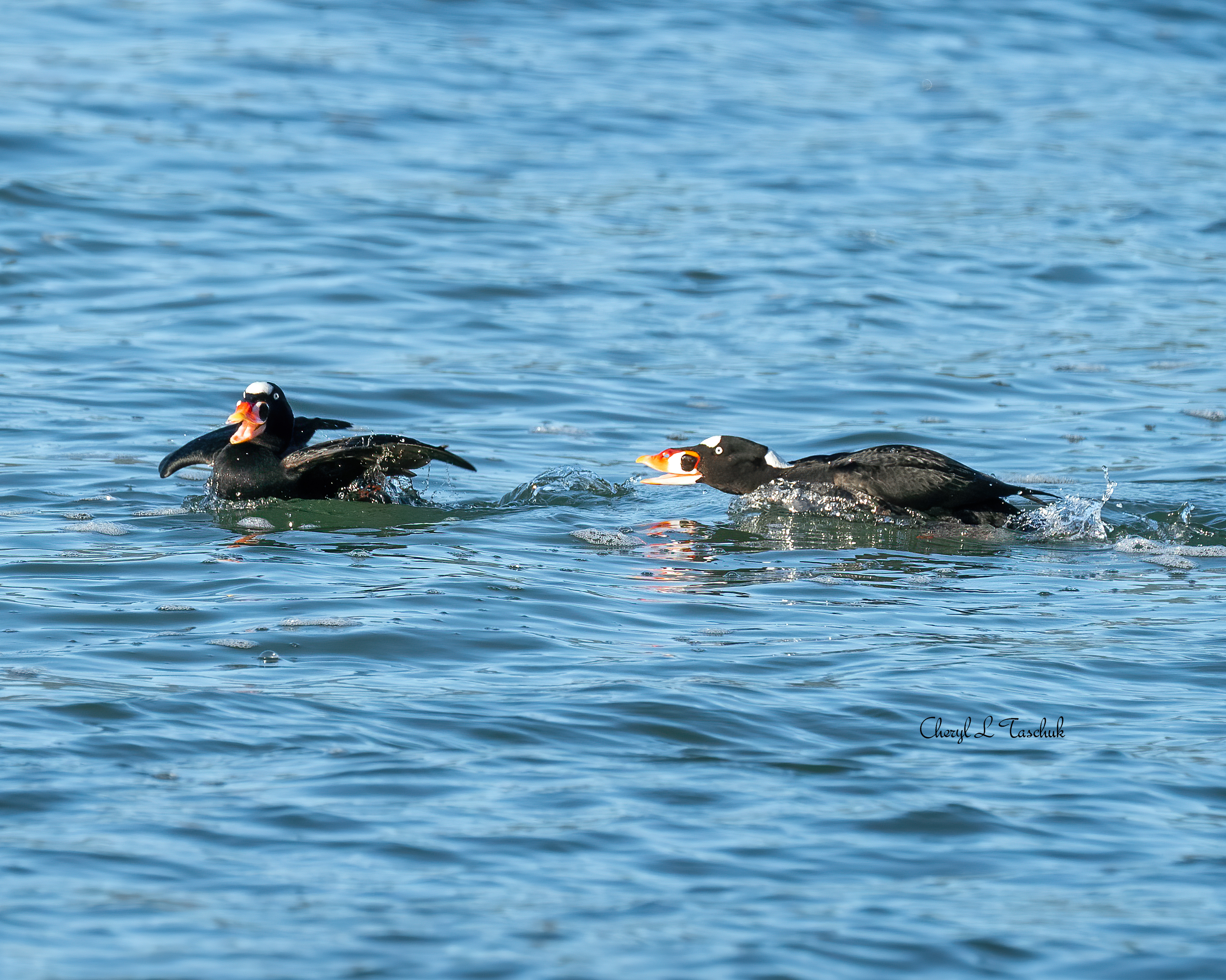 Surf Scoter Males in Chase