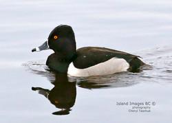 BI-Ring-necked Duck 0380