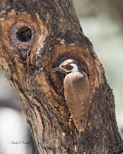 Arizona Woodpecker in Tree 2