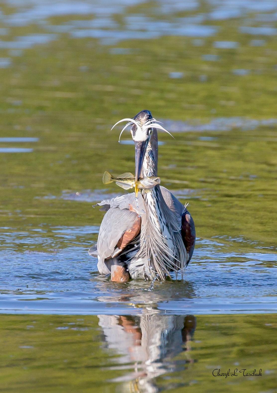 BI-Heron with Fish 6516