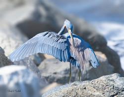 Tricoloured Heron Preening
