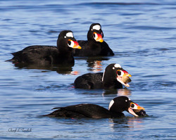 Surf Scoters Having Lunch
