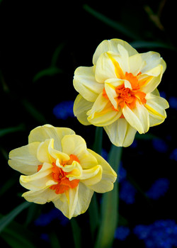 Yellow Daffodils Blue Background