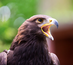 BI-Eagle 2559