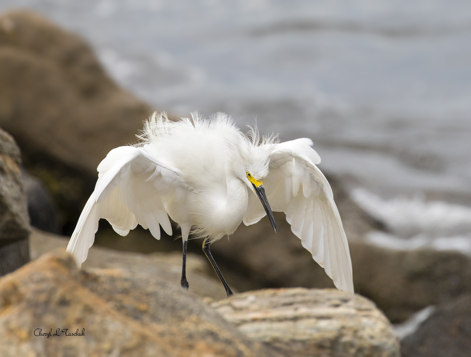 Angry Egret
