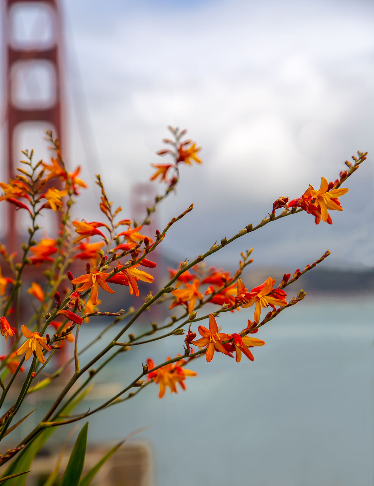 Crocosmia w/ Golden Gate