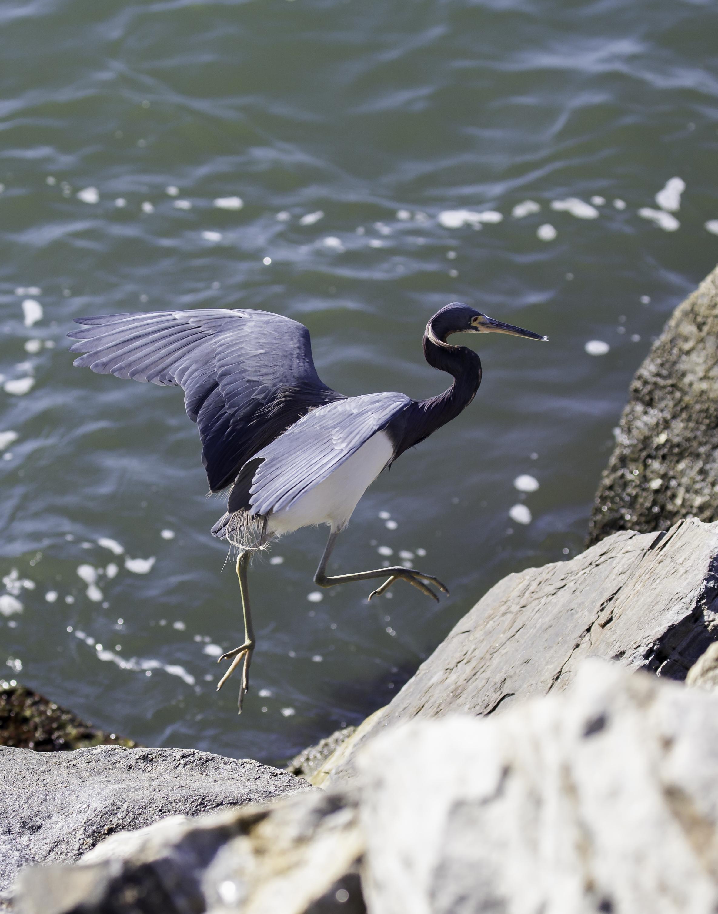 BI-Mexican blue heron 4164