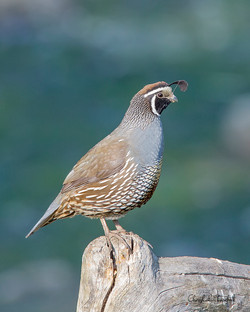 Quail on Post (blue background)