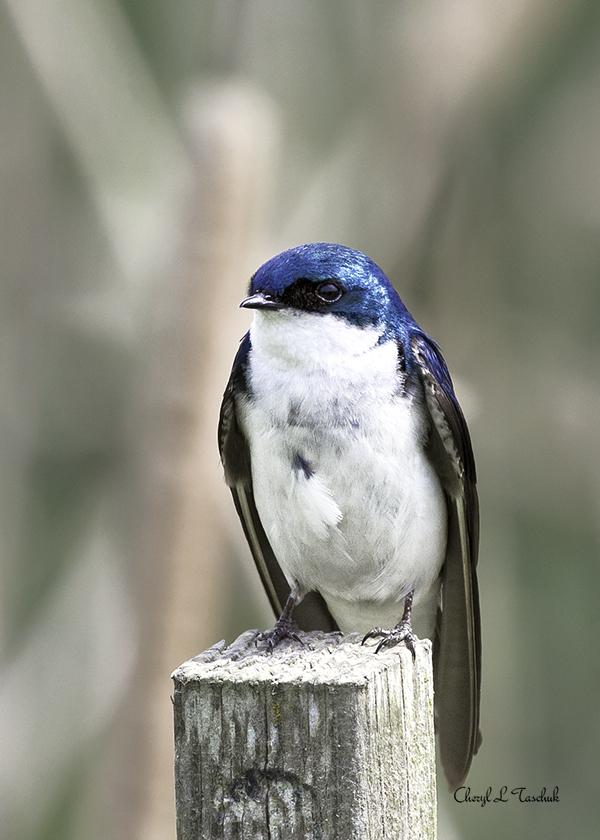 Tree Swallow on Post