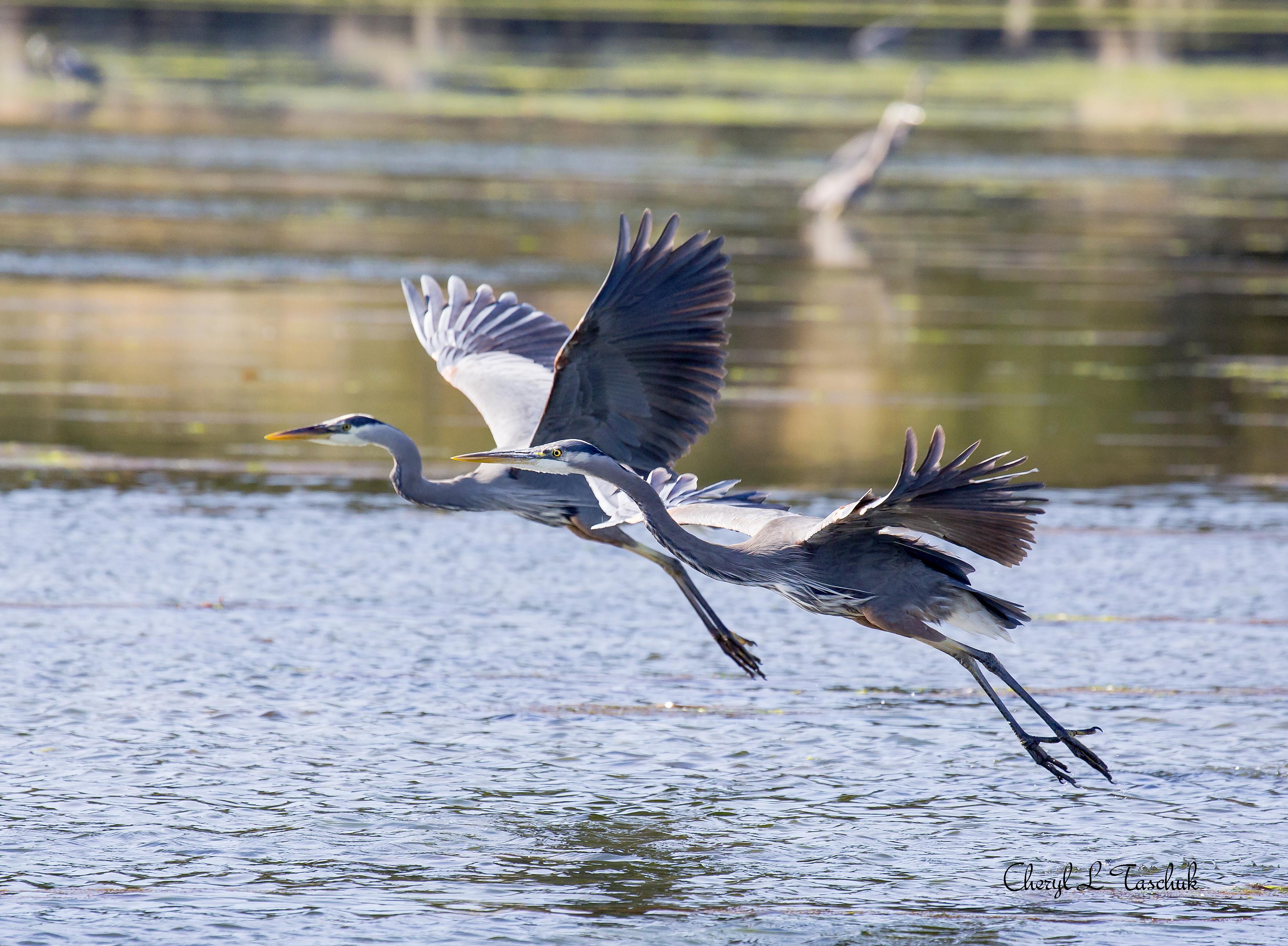 Herons, Pair Flying 1
