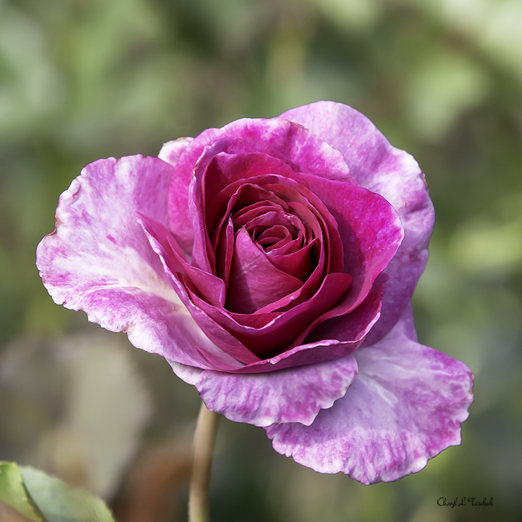 Pink and White Rose 1