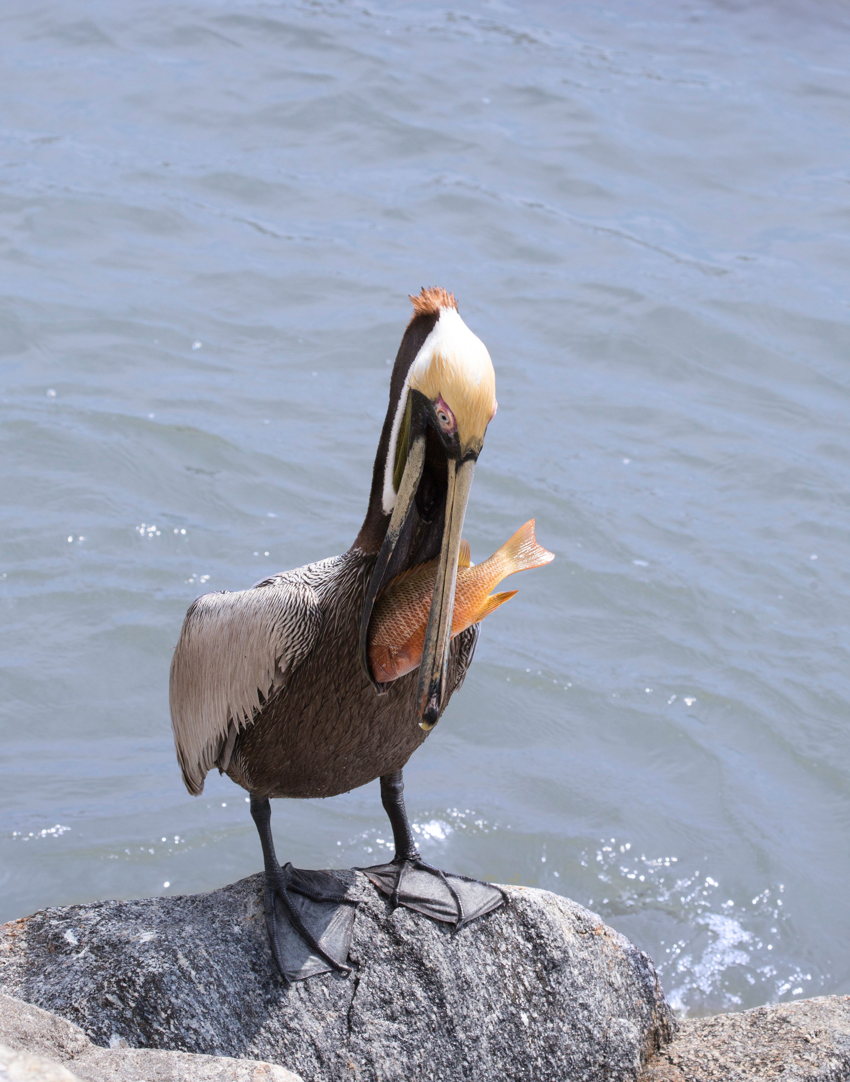 Pelican with Dinner