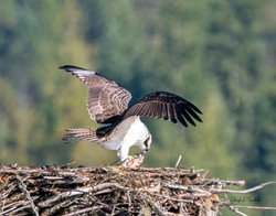 Osprey Chick Eating Lunch