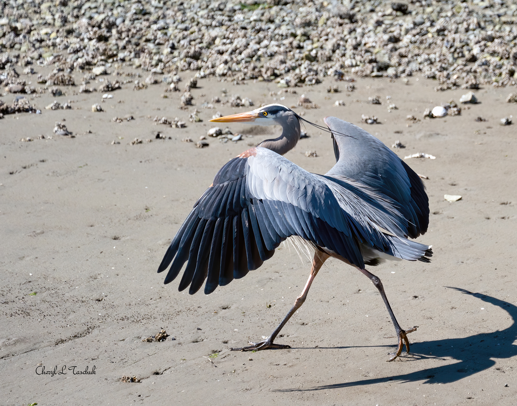 Heron Walking in Sand