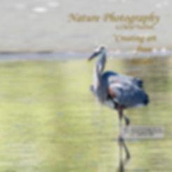 Heron Wading 6411-Web Home Page-V3.jpg