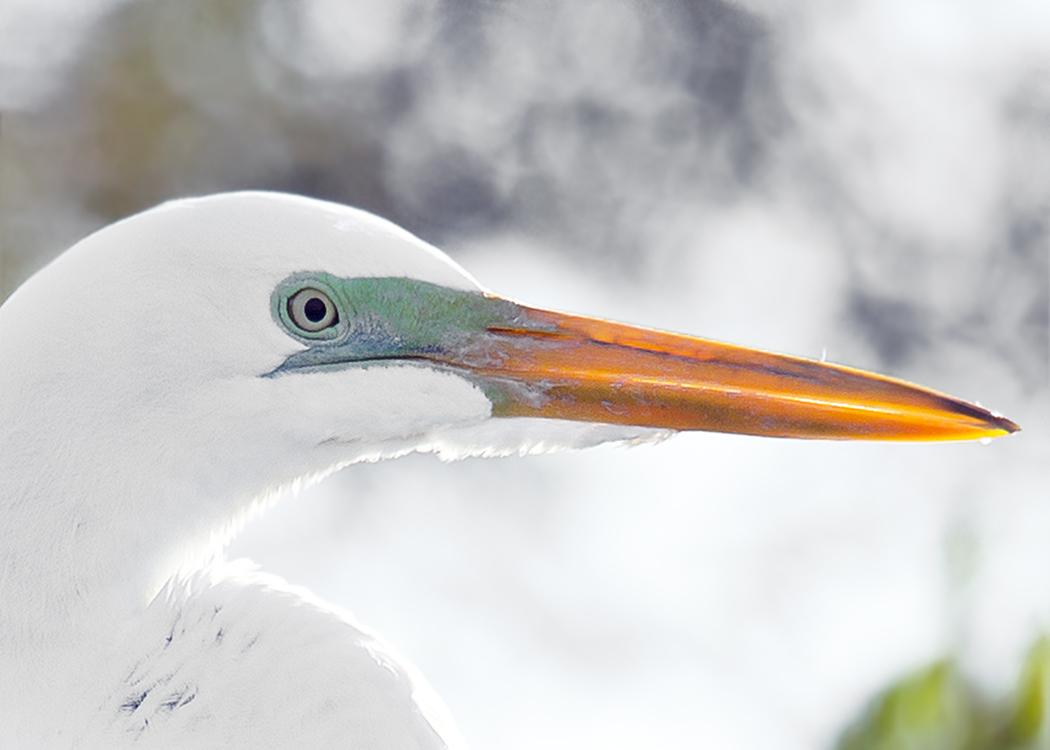 Egret in Profile