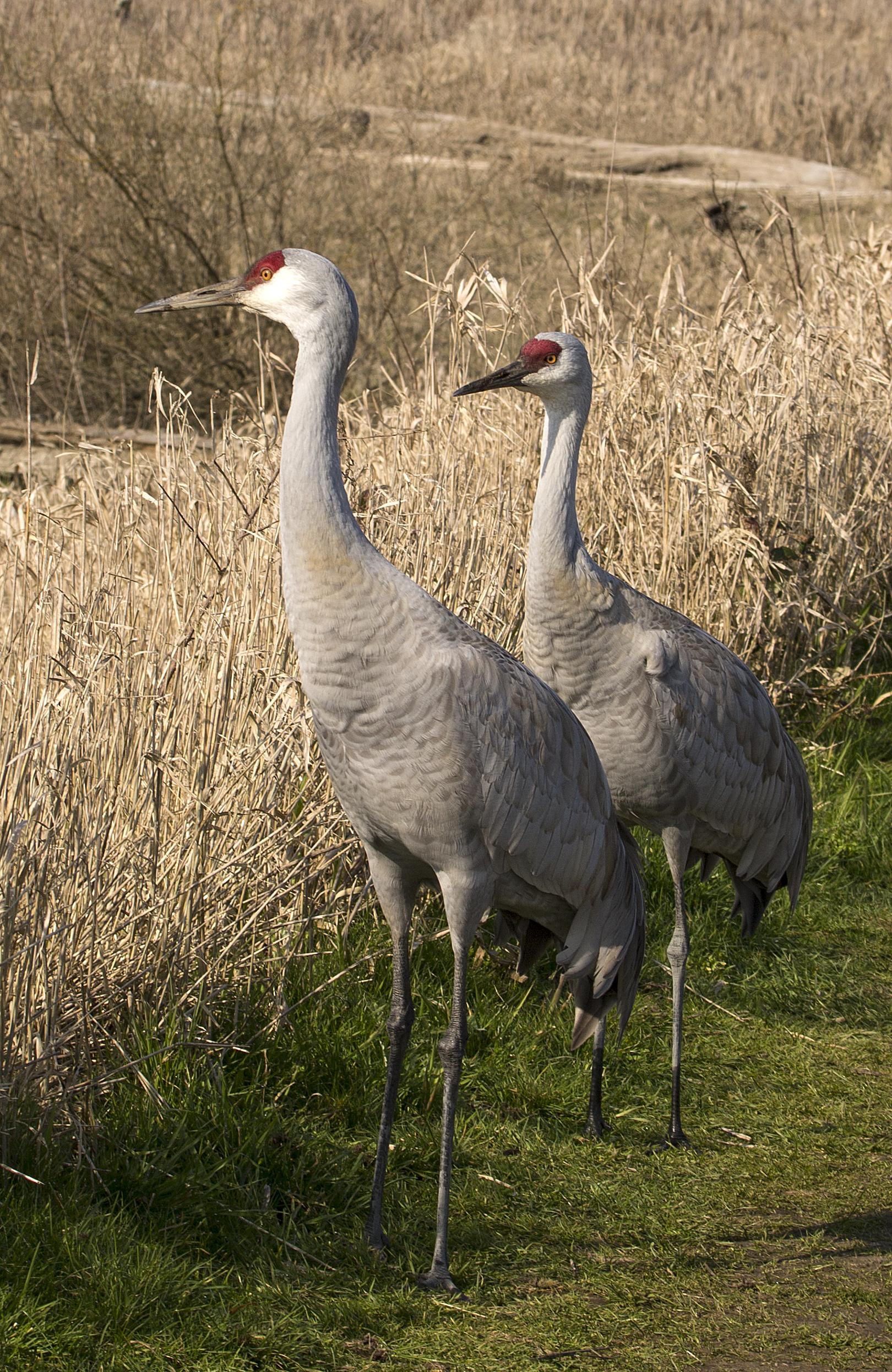 BI-Sandhill Cranes (pair) 0849