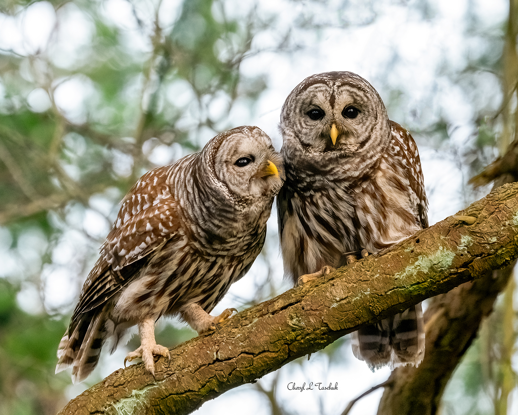 Barred Owl Couple
