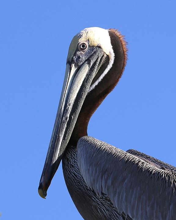 Pelican in Tree
