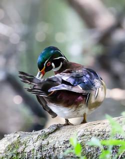 BI-Wood Duck in Tree 5894