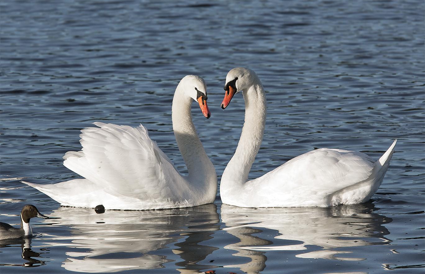 Swans Pair