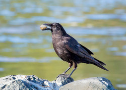 Crow with Dinner