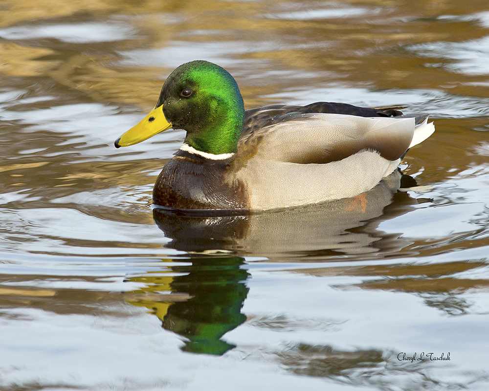 Mallard, Male Swimming