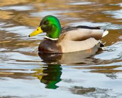 Mallard, Male Swimming