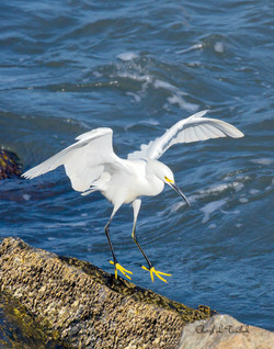 Egret Landing on Rock