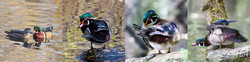 Set 9 Wood Ducks-Set of 4
