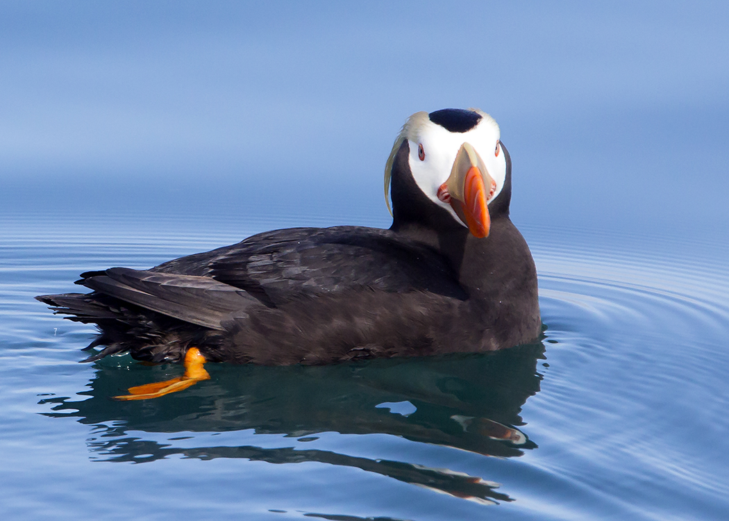 Puffin Swimming Facing Fwd
