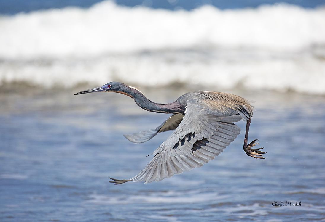 Tricoloured Heron in Flight
