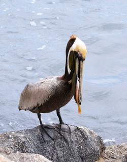 BI-Pelican 3454