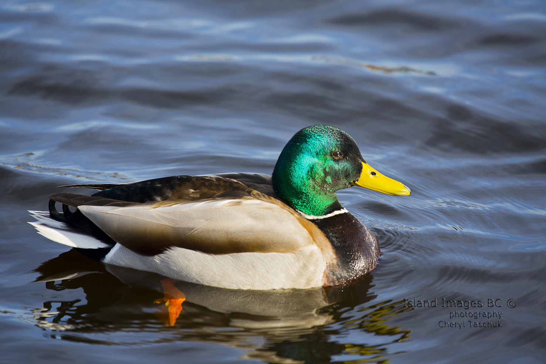 Mallard, Male, Swimming