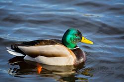 Mallard, Male, Swimming