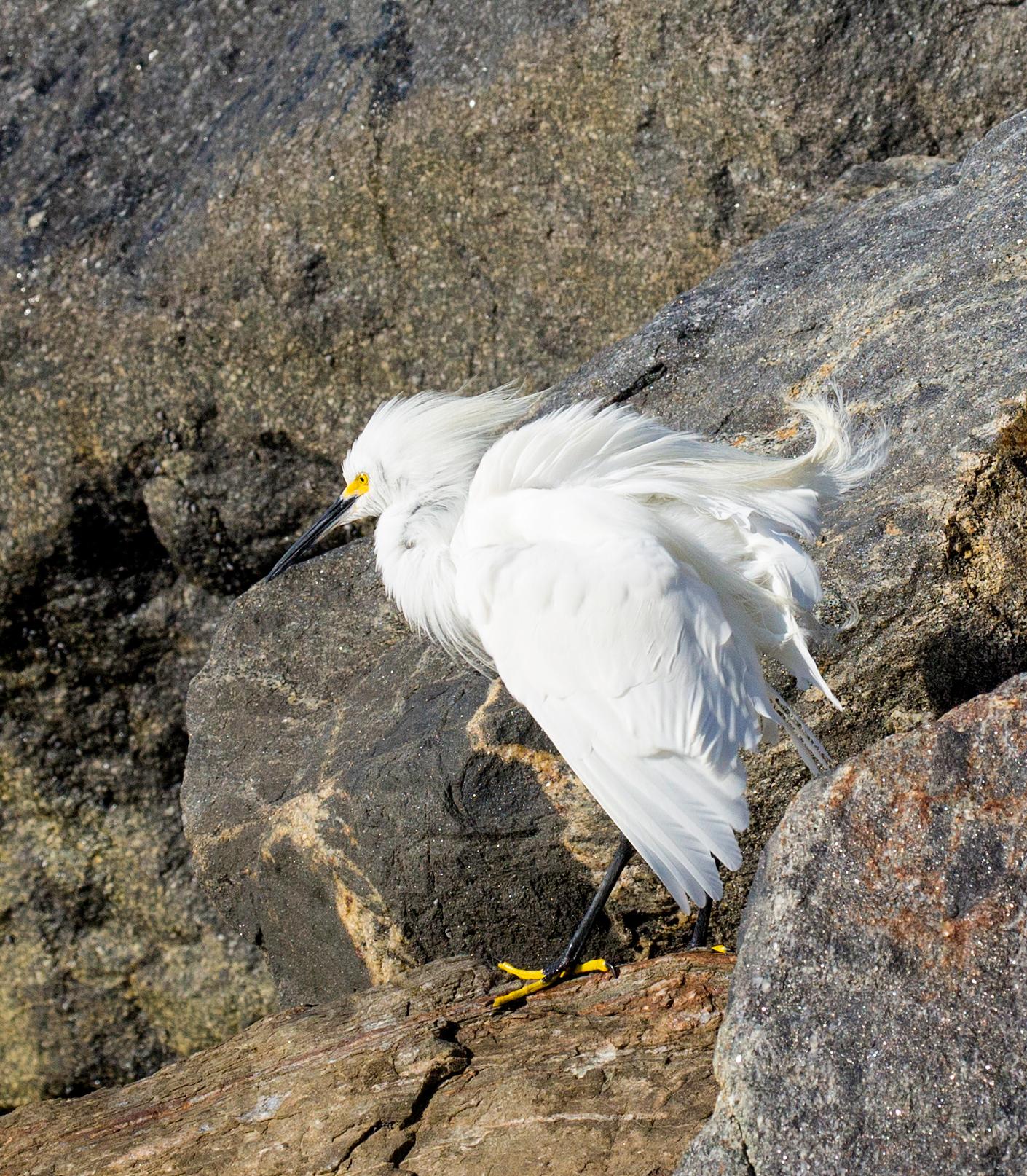 BI-Egret on rock 4078