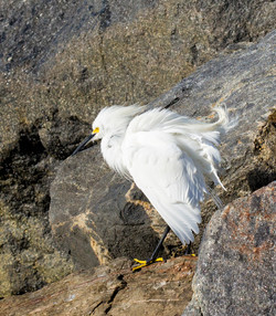 Egret on Windy Day